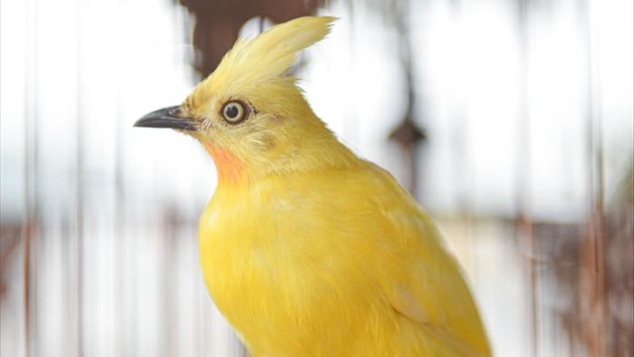 Săn lùng hoàng mào chơi Tết, đại gia thuê hẳn xe riêng đón chim quý về nhà - 4