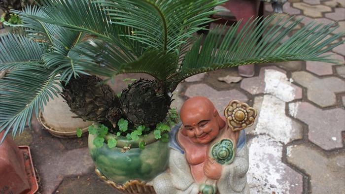 Chán mai, ngán đào, nhiều thượng đế săn lùng mua vạn tuế bonsai chơi Tết - 7