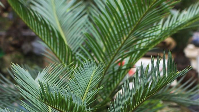 Chán mai, ngán đào, nhiều thượng đế săn lùng mua vạn tuế bonsai chơi Tết - 5