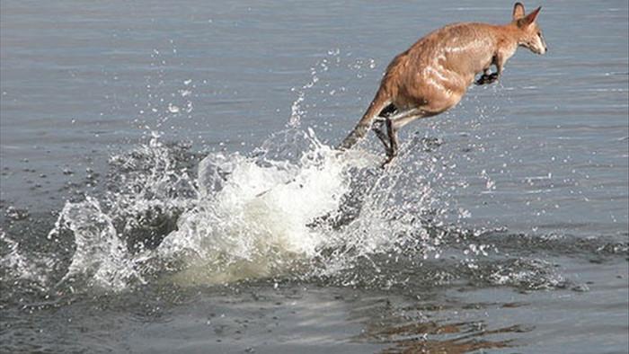 Giải cứu chuột túi đuối nước giữa biển - 1