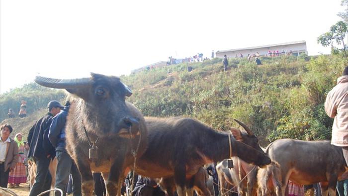 Đầu năm Tân Sửu đi chợ trâu lớn nhất vùng biên viễn Tây Bắc - 5