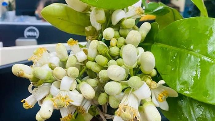 Đón rằm tháng Giêng, người Hà Nội lại tấp nập mua hoa bưởi - 3