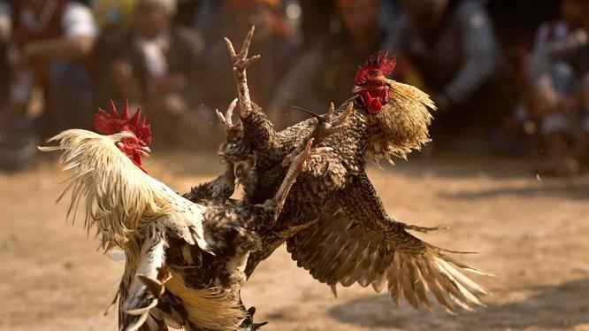 Dù bị cấm trên toàn lãnh thổ, nhưng chọi gà ăn tiền vẫn khá phổ biển ở nhiều vùng nông thôn Ấn Độ (Ảnh: Washington Post)