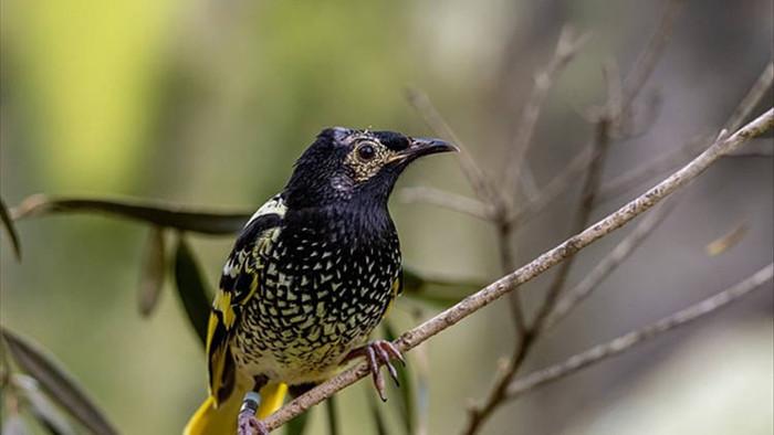 Loài chim cực quý hiếm ở Úc có thể bị tuyệt chủng vì… quên cách hót - 1