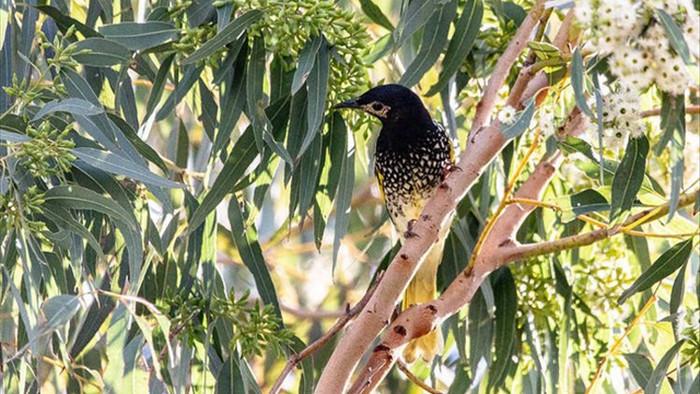 Loài chim cực quý hiếm ở Úc có thể bị tuyệt chủng vì… quên cách hót - 2