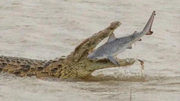Cực hiếm cảnh cá sấu khổng lồ xơi tái cá mập - 1