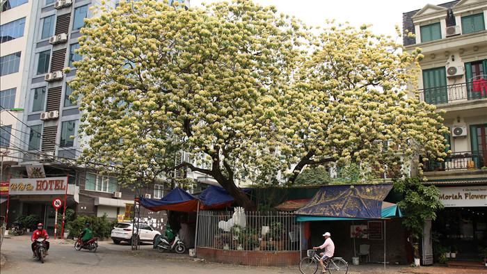 Cây hoa bún 300 tuổi ở Hà Nội thu hút người dân đổ về thưởng lãm - 1