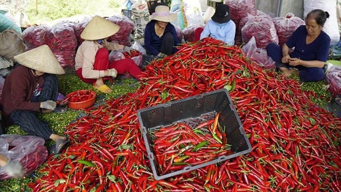 Nông dân Bình Định khóc ròng vì giá ớt tuột tận đáy - 1
