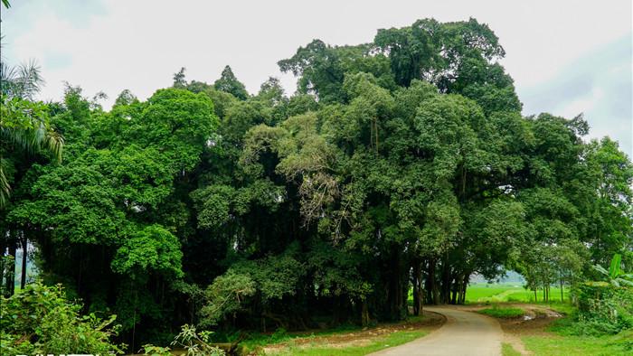Tận mắt thấy cây ma làng tồn tại hơn 8 thế kỷ ở Hòa Bình - 2
