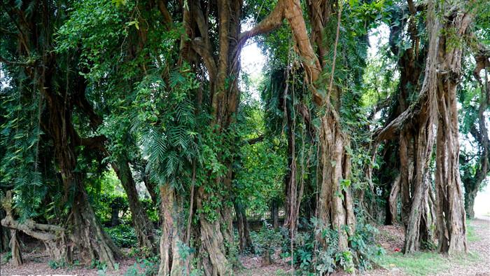 Tận mắt thấy cây ma làng tồn tại hơn 8 thế kỷ ở Hòa Bình - 4