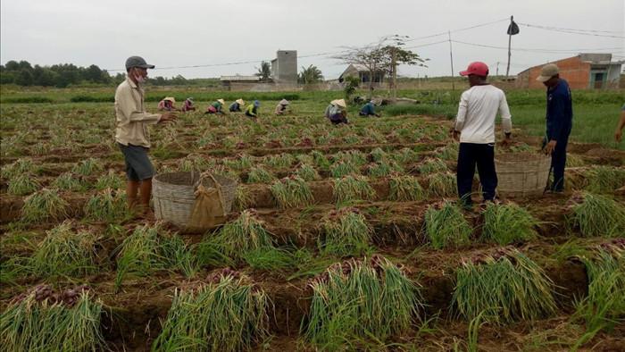 Hành tím mất giá kỷ lục, người trồng lao đao