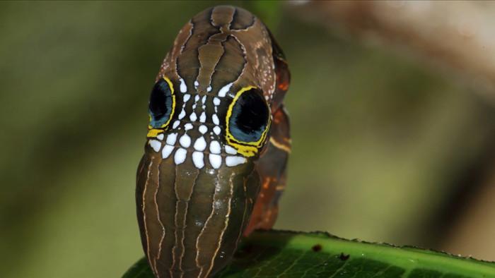 Loài sâu bướm này bắt chước một chiếc đầu lâu đáng sợ để đe dọa những kẻ săn mồi có ý định tấn công chúng - Ảnh 10.