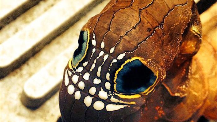 Loài sâu bướm này bắt chước một chiếc đầu lâu đáng sợ để đe dọa những kẻ săn mồi có ý định tấn công chúng - Ảnh 4.
