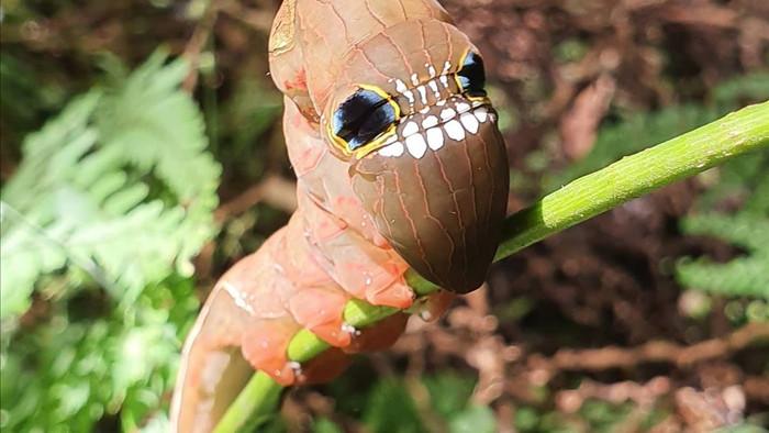 Loài sâu bướm này bắt chước một chiếc đầu lâu đáng sợ để đe dọa những kẻ săn mồi có ý định tấn công chúng - Ảnh 8.