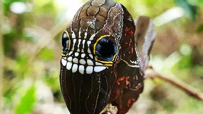 Loài sâu bướm này bắt chước một chiếc đầu lâu đáng sợ để đe dọa những kẻ săn mồi có ý định tấn công chúng - Ảnh 9.