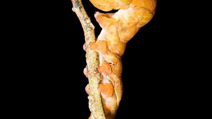 Loài sâu bướm này bắt chước một chiếc đầu lâu đáng sợ để đe dọa những kẻ săn mồi có ý định tấn công chúng - Ảnh 7.