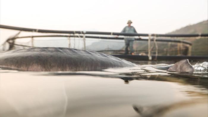 Xuất hiện đàn cá tầm khổng lồ Beluga ở Sơn La?