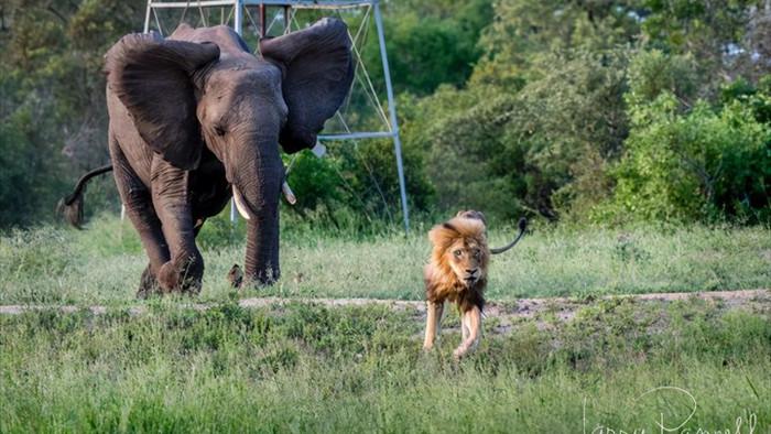 Chùm ảnh: khoảnh khắc cuối đời của vua sư tử Skar từng ngự trị đồng cỏ Nam Phi - Ảnh 8.