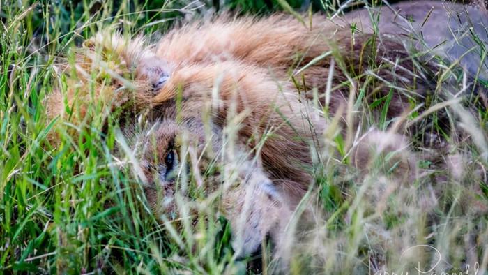 Chùm ảnh: khoảnh khắc cuối đời của vua sư tử Skar từng ngự trị đồng cỏ Nam Phi - Ảnh 11.