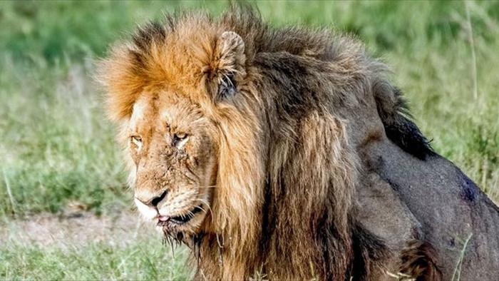 Chùm ảnh: khoảnh khắc cuối đời của vua sư tử Skar từng ngự trị đồng cỏ Nam Phi - Ảnh 4.