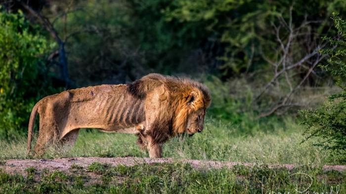 Chùm ảnh: khoảnh khắc cuối đời của vua sư tử Skar từng ngự trị đồng cỏ Nam Phi - Ảnh 3.