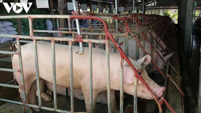 Theo đánh giá của các chuyên gia, giá thịt lợn giảm do nguồn cung trong nước bước đầu được đảm bảo.