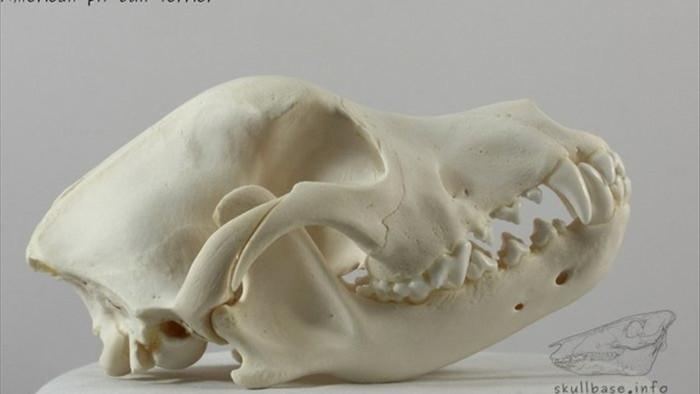 Hàm răng chó Pitbull khỏe cỡ nào mà cắn chết người như bỡn? - 4