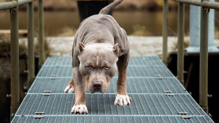 Chó Pitbull không bị cấm ở Việt Nam, nếu bị tấn công thì tự vệ thế nào? - 4