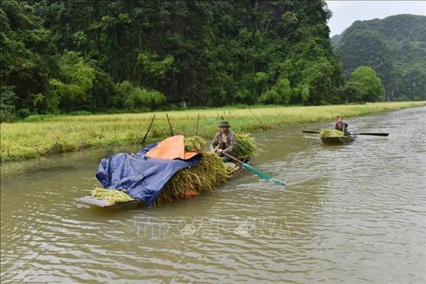 Ninh Binh: Dac sac mua gat o Tam Coc hinh anh 2