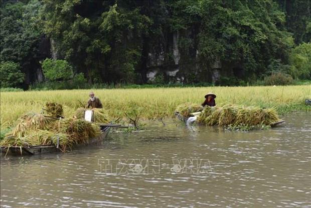 Ninh Binh: Dac sac mua gat o Tam Coc hinh anh 3