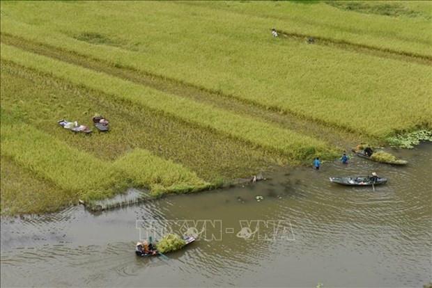 Ninh Binh: Dac sac mua gat o Tam Coc hinh anh 4