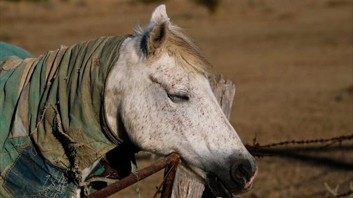 Tại sao ngựa không nằm hoặc ngồi khi ngủ? - 1