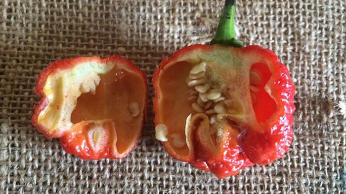 Kỳ lạ loài ớt bé nhỏ nhưng cay nhất trần gian, có thể gây chết người - 2