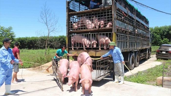 Tạm ngừng nhập khẩu lợn sống từ Thái Lan để giết mổ - 1