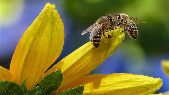 Không thể tin nổi: Video bắt quả tang 2 con ong làm việc teamwork để mở nắp một chai nước ngọt? - Ảnh 6.