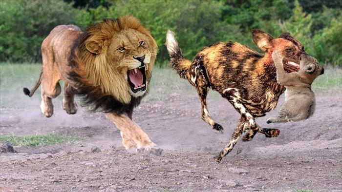 Bị sư tử ngoạm chặt cổ, chó hoang vẫn thoát chết nhờ màn đấu trí cân não - 1