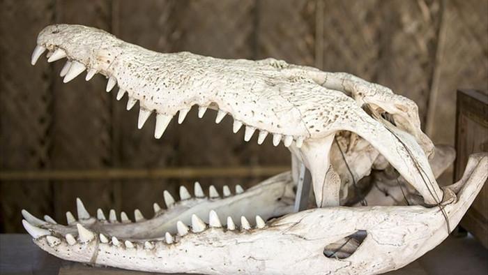 Thần may mắn giúp linh dương đầu bò thoát cảnh vong mạng trước cá sấu - 2