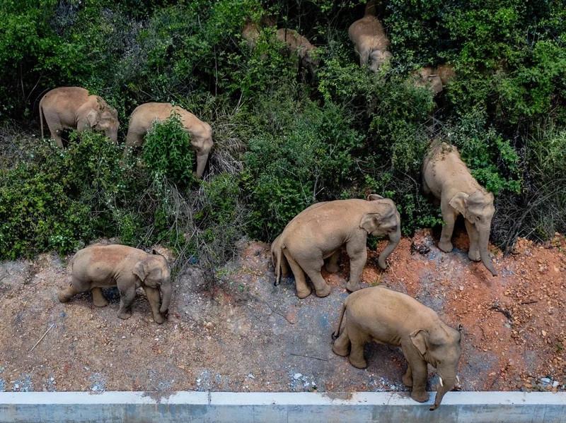 Đàn voi khủng đi phượt 500 km gây xôn xao Trung Quốc-1