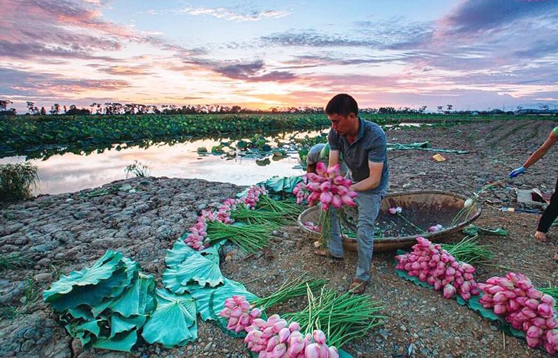 Biến đồng hoang thành đầm sen khổng lồ, anh nông dân lập kỷ lục triệu bông hoa-2