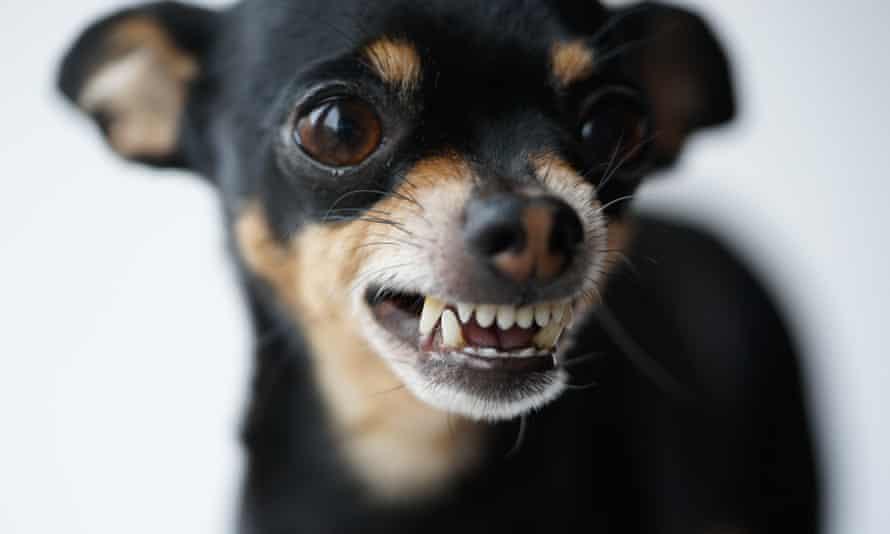 Tại sao những con chó nhỏ lại thường hung dữ hơn?-1