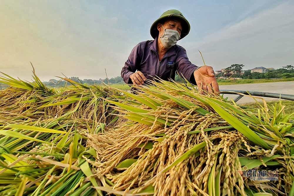 Hình ảnh ngày mùa trên cánh đồng nơi giãn cách ở Bắc Giang-2