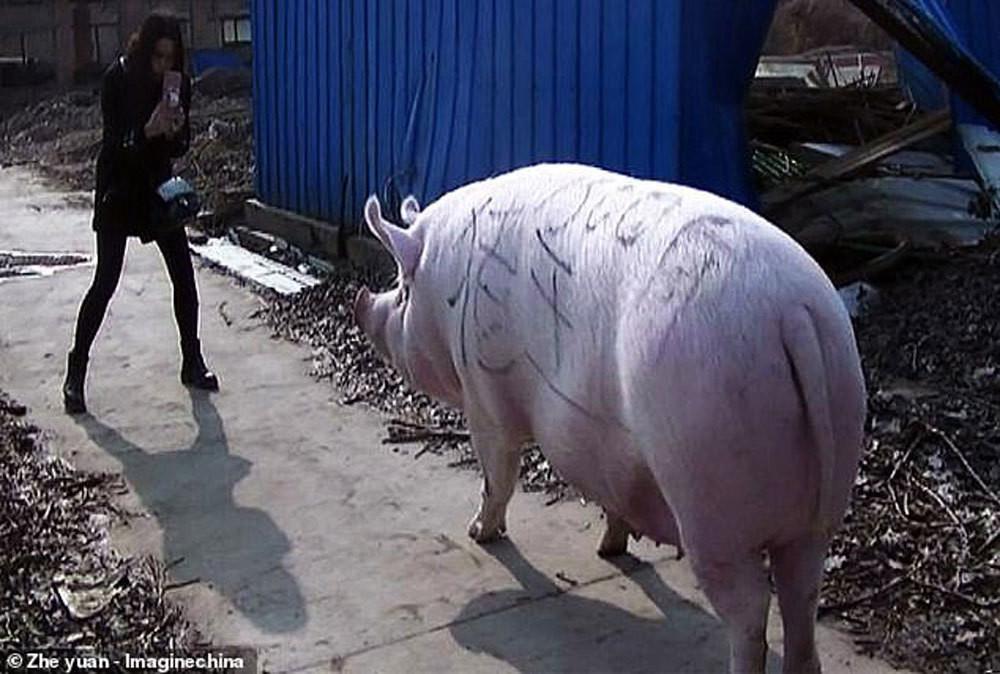 Siêu to khổng lồ đáng sợ: Trung Quốc nhân giống lợn to như gấu Bắc cực-2