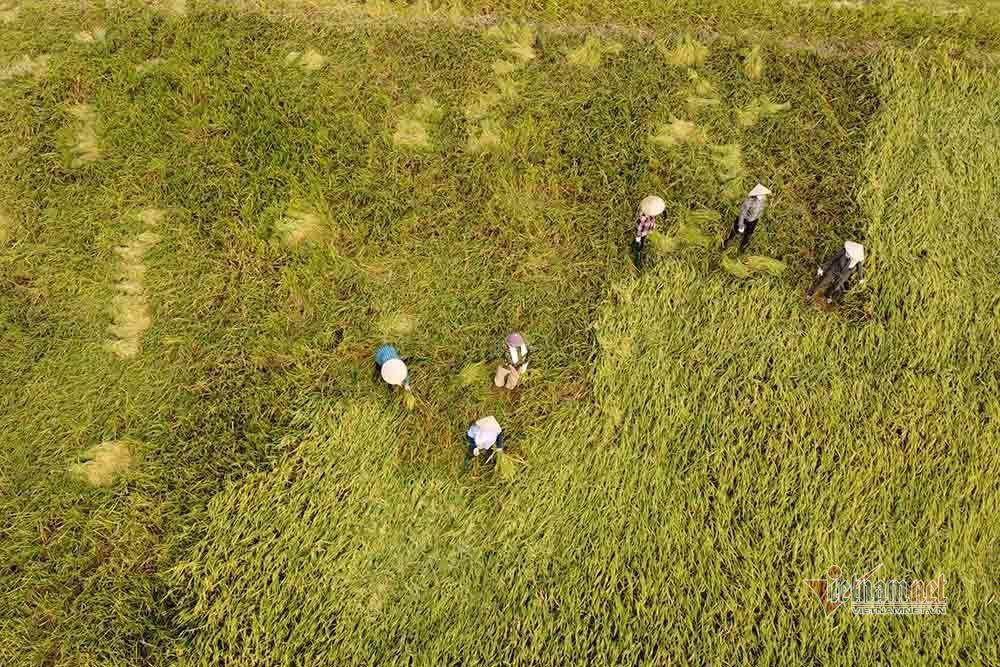 Hình ảnh ngày mùa trên cánh đồng nơi giãn cách ở Bắc Giang-1