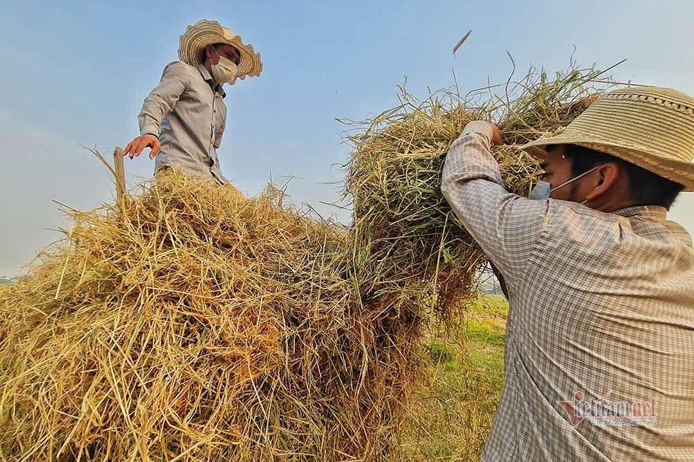 Hình ảnh ngày mùa trên cánh đồng nơi giãn cách ở Bắc Giang-5