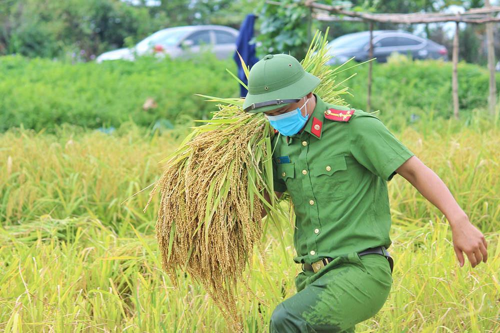Hình ảnh ngày mùa trên cánh đồng nơi giãn cách ở Bắc Giang-6