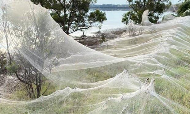 Mạng nhện khổng lồ như phim khoa học viễn tưởng khiến dân bản địa sợ hãi-1