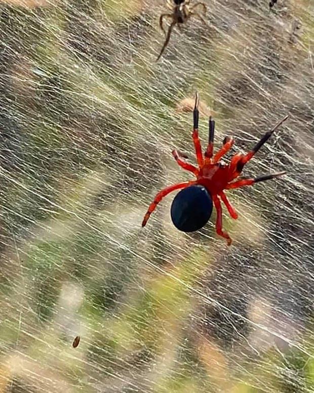 Mạng nhện khổng lồ như phim khoa học viễn tưởng khiến dân bản địa sợ hãi-3
