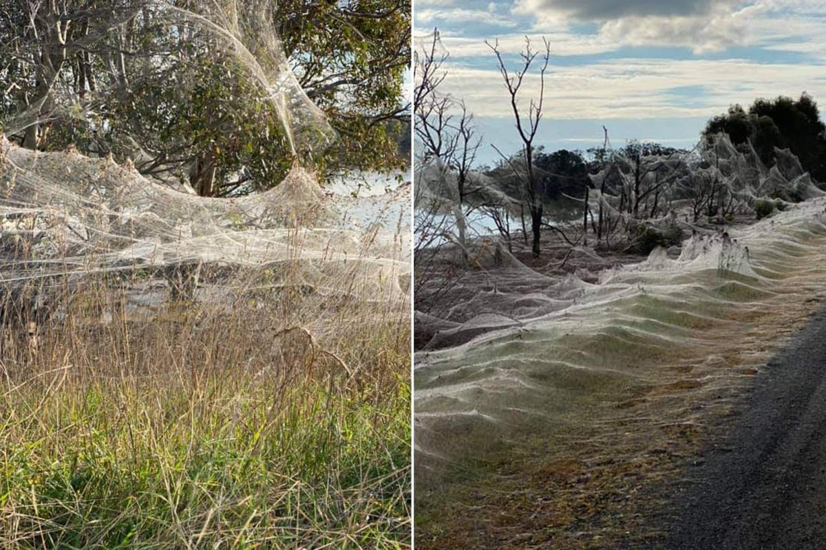 Mạng nhện khổng lồ như phim khoa học viễn tưởng khiến dân bản địa sợ hãi-2