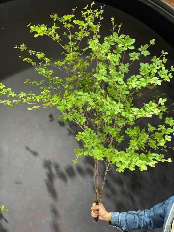 Hà thành mùa lạ, tranh nhau mua cành cây khẳng khiu, toàn lá giá tiền triệu-1