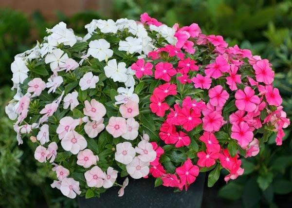 Trồng 2 loại hoa này mỗi năm có 300 ngày ngắm, dễ trồng và đẹp, nở rộ như biển hoa-1